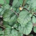 BALA KHARETI (20 graines)