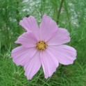 COSMOS ROSE (15 graines)