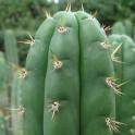 CACTUS SAN PEDRO (20 graines)