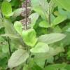 tulsi basilic sacré graines