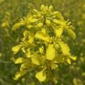 moutarde noire graines