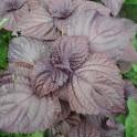 SHISO POURPRE / PERILLA, Perilla frutescens (15 graines)
