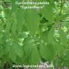 graines de cyclanthère