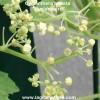 cyclanthère semences