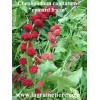 épinard fraise graines