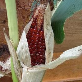 maïs fraise graines