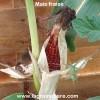 graines de maïs fraise