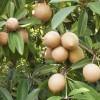 arbre chewing gum sapotilier