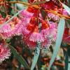 eucalyptus torquata graines
