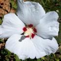 Hibiscus althea blanc graines