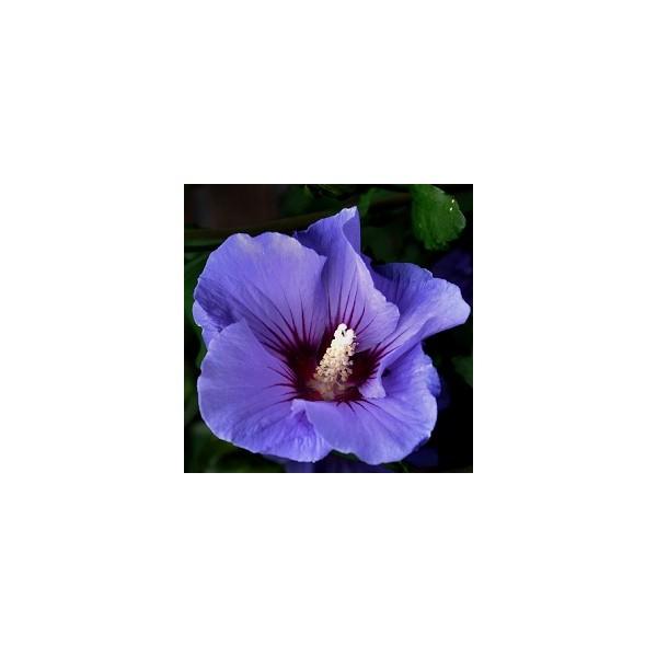 alth a bleu graines d 39 hibiscus fleurs bleues. Black Bedroom Furniture Sets. Home Design Ideas