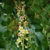 arbre a encens boswellia sacra graines