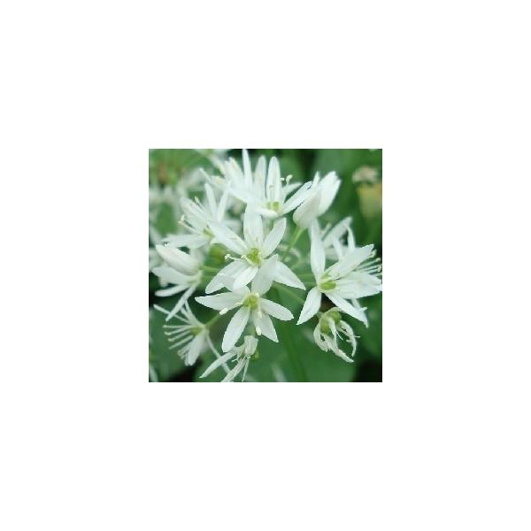 Graines d'Ail des ours, Allium ursinum à planter