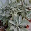 salvia apiana, sauge blanche graines