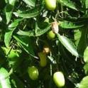 neem, margousier graines