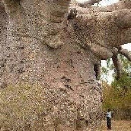 baobab graines