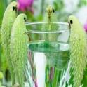 asclepias herbe perruche graines