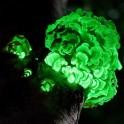 champignons bioluminescents achat vente