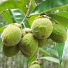 BOIS D'AGAR, Aquilaria crassna (5 graines)