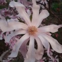 MAGNOLIA ROSE (4 graines)