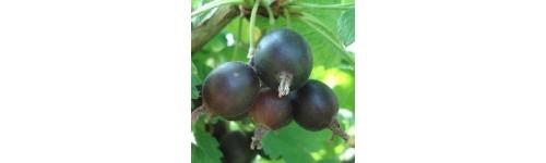 Plantes à fruits